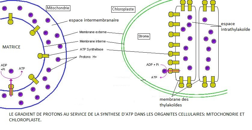 réactions d'oxydo-réduction au service de la production massive d'ATP