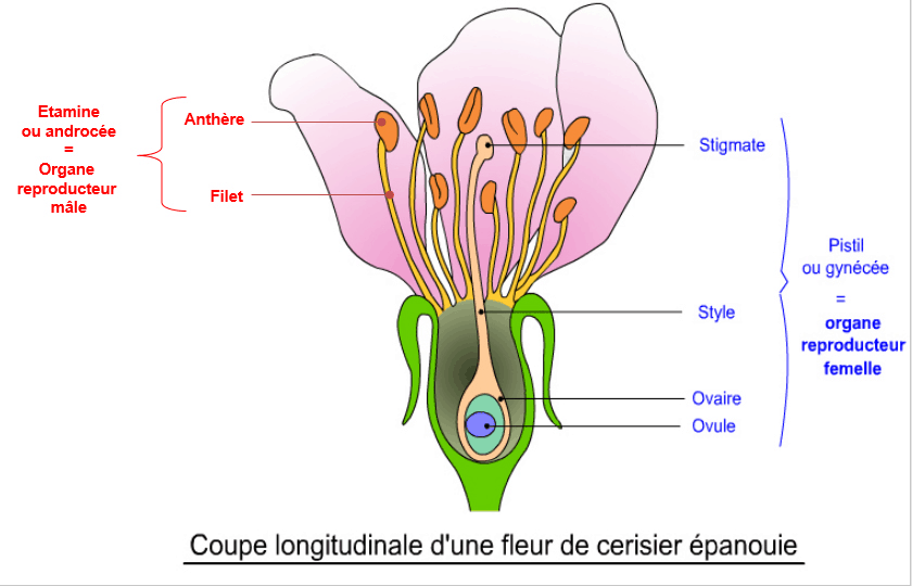 Brevet SVT, reproduction sexuée, coupe d'une fleur