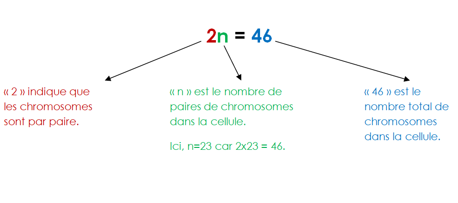 Que signifie 2n = 46 ?